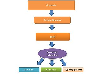 Aspergillus fumigatus - Image: Secondary metabolite regulation by Lae A