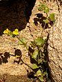 Seep Monkeyflower - Flickr - treegrow (2).jpg