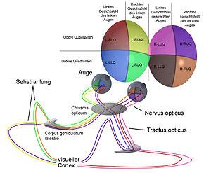 Abb 11 Führung Und Partielle Überkreuzung Der Nervenbahnen Von Den Augen Zum Gehirn