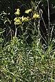 Senecio erucifolius qtl2.jpg
