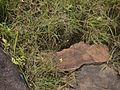 Senecio tenuifolius (6257305760).jpg