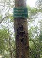 Senna siamea tree at Indira Gandhi Zoo Park.JPG