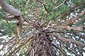 Sequoia tree 100 years old, Massandra Palace Park, Crimea, Russia.jpg