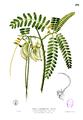 Sesbania grandiflora Blanco2.291.png