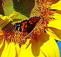 Sharing the Wealth, Butterfly and Bees 10-24b (22255609979).jpg