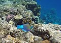 Sharm El Sheikh Roundhead parrotfish eating.jpg