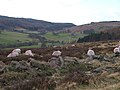 Sheep grazing - geograph.org.uk - 718957.jpg