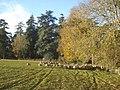 Sheep herd in Madresfield Park - geograph.org.uk - 623006.jpg