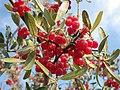 Shepherdia argentea — Matt Lavin 011.jpg