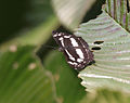 Short-banded Sailer (Neptis columella) on a Chalta (Dillenia indica) leaf in Kolkata W IMG 3620.jpg