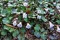 Shortia uniflora 09.jpg