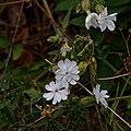 Silene latifolia M-Compagnon blanc F-20170709.jpg