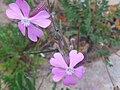 Silene stockenii FlowersCloseup2 2009Mach28 DehesaBoyaldePuertollano.jpg
