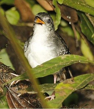 Silvered antbird - Sacha Lodge - Ecuador (flash photo)