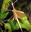 Sipyloidea sipylus, female with open wings.jpg