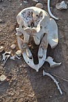 Skull of a deceased Loxodonta africana juvenile individual found within the Voyager Ziwani Safari Camp, on the edge of the Tsavo West National Park, near Ziwani, Kenya.jpg