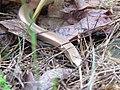 Slepić - Anguis fragilis.jpg