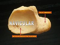 navicular bone - wikipedia, Human Body