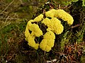 Slime mould - geograph.org.uk - 466077.jpg