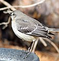 Sllent Mockingbird Backyard Birds Cary.jpg
