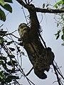 Sloth Ascending - Finca Esperanza Verde - Near Matagalpa - Nicaragua (31611663956).jpg