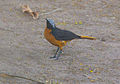 Small bird Gambia.jpg
