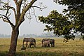 Small family of elephants at the Kaziranga National Park, Assam.jpg