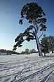 Snow-covered tree in Ickworth Park - geograph.org.uk - 1628208.jpg