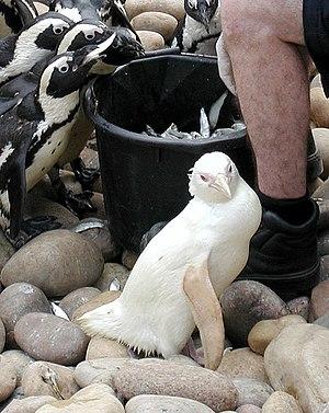 Plumage - An albino African penguin.