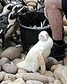Snowdrop.penguin.600pix.jpg