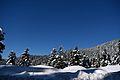 Snowy Trees 2.jpg