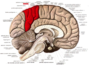 Precuneus - Medial surface of left cerebral hemisphere. (Precuneus visible at top left.)