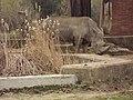 Sofia Zoo - Rhino 002.jpg