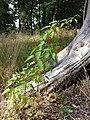 Solanum dulcamara sl2.jpg