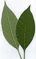 Solanum mauritianum leaves.jpg