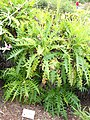 Sonchus canariensis - University of California Botanical Garden - DSC08926.JPG