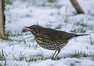song thrush again!!!