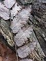 Sorbus aucuparia sl8.jpg