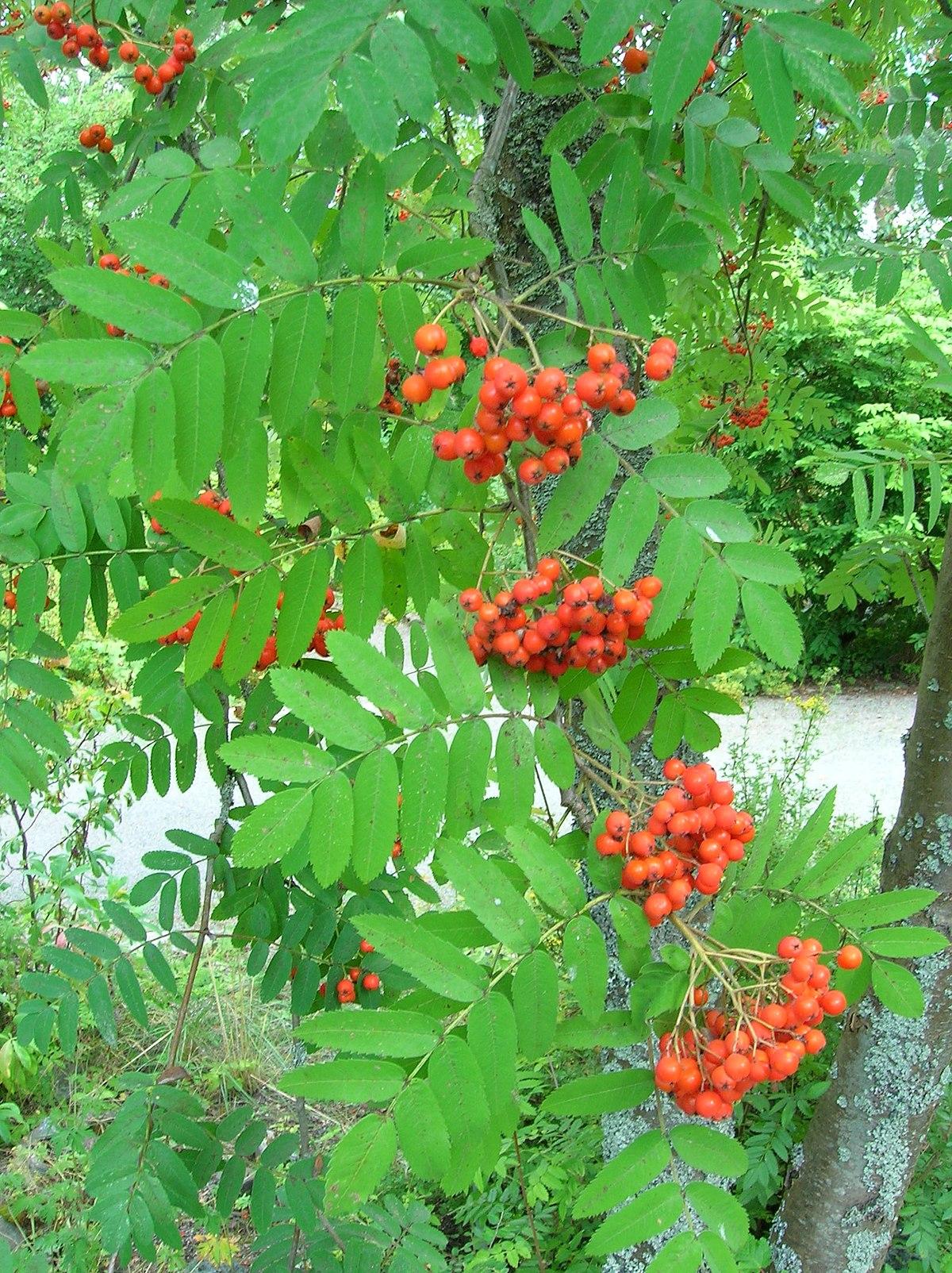 Sorbus Aucuparia Subsp Sibirica Wikispecies