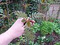 Sorbus sp new foliage - Flickr - peganum (2).jpg