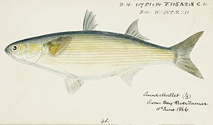 Southern Pacific fishes illustrations by F.E. Clarke 5.jpg