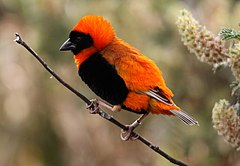 Southern Red Bishop or Red Bishop (Euplectes orix) (1).jpg