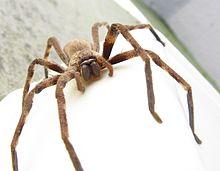Sparassidae Palystes castaneus mature female 9923s.jpg