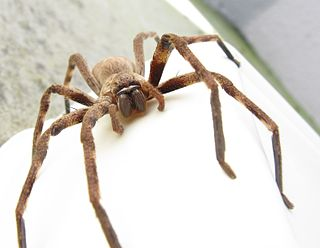 Huntsman spider Family of spiders