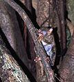 Spectral Tarsier Tarsius tarsier (7911549768).jpg