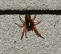 Spider (30539074638).jpg