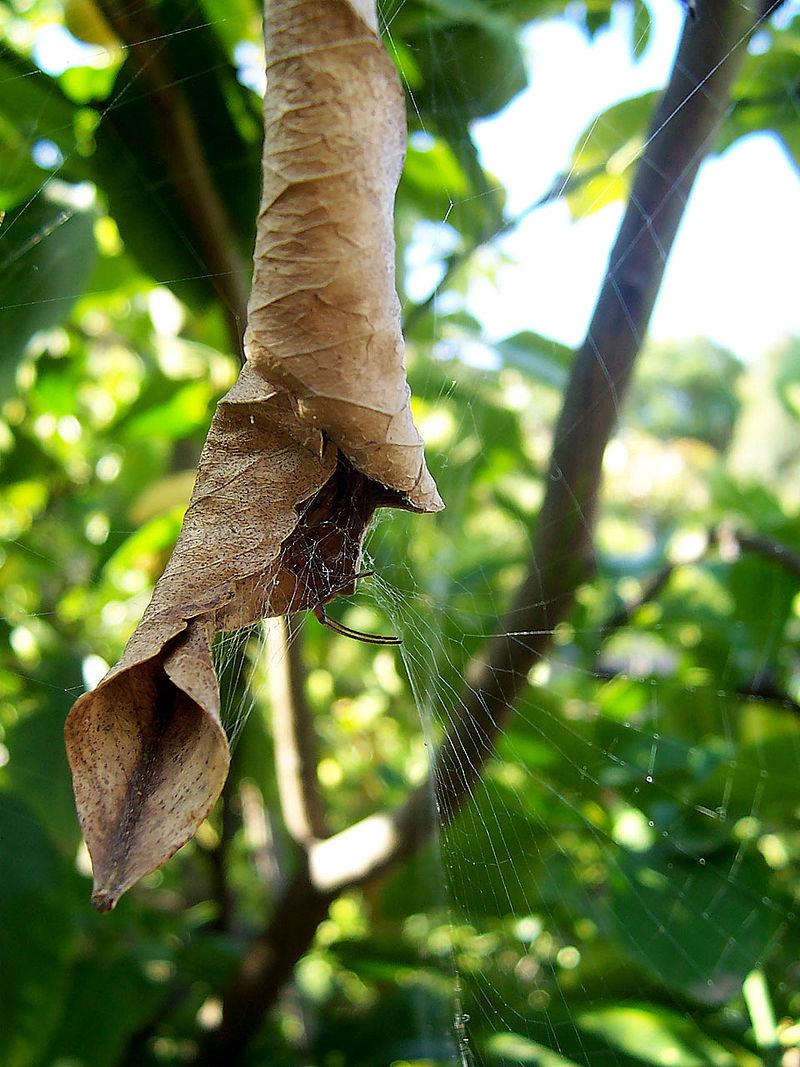 Spider house leaf.jpg