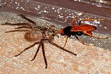 Cryptocheilus Bicolor Wikipedia