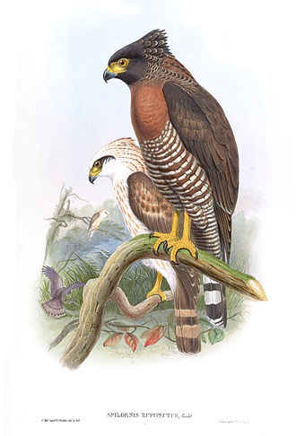 Sulawesi serpent eagle - Image: Spilornis Rufipectus Gould