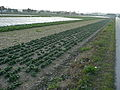 Spinach field in Italy 1.jpg